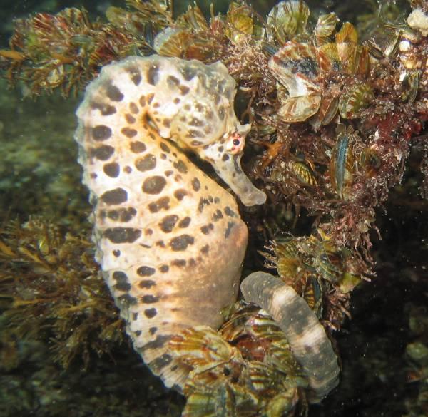 Pot Belly Seahorse