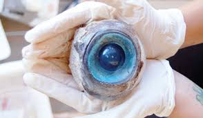 Wanted: Giant Squid Eyes - Giant Squid Fishing - Squid ...